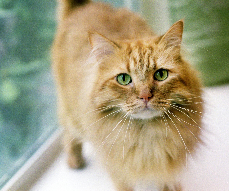 Is Feline AIDS (AKA FIV) Contagious?