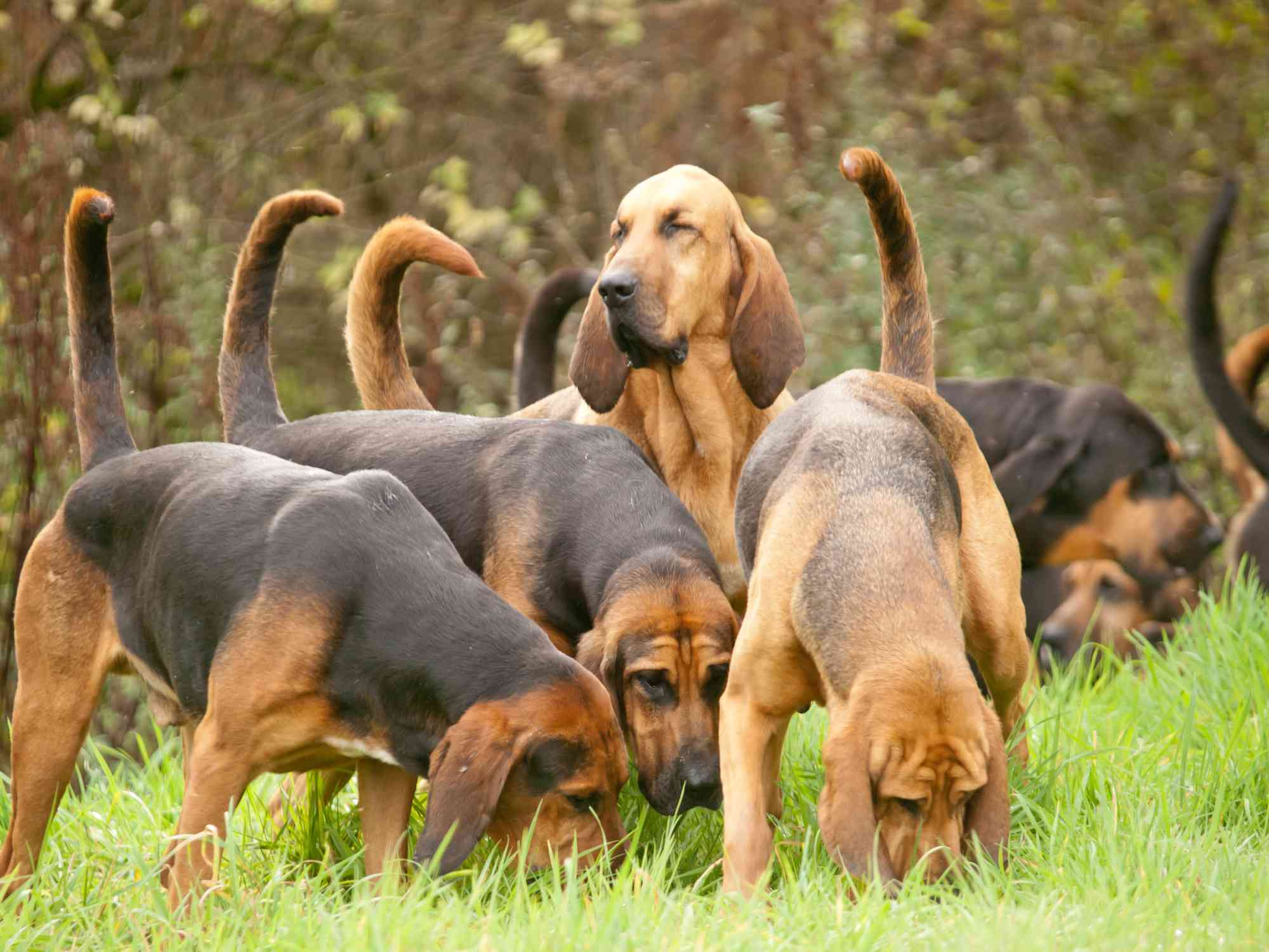 A pack of Bloodhounds hunting.