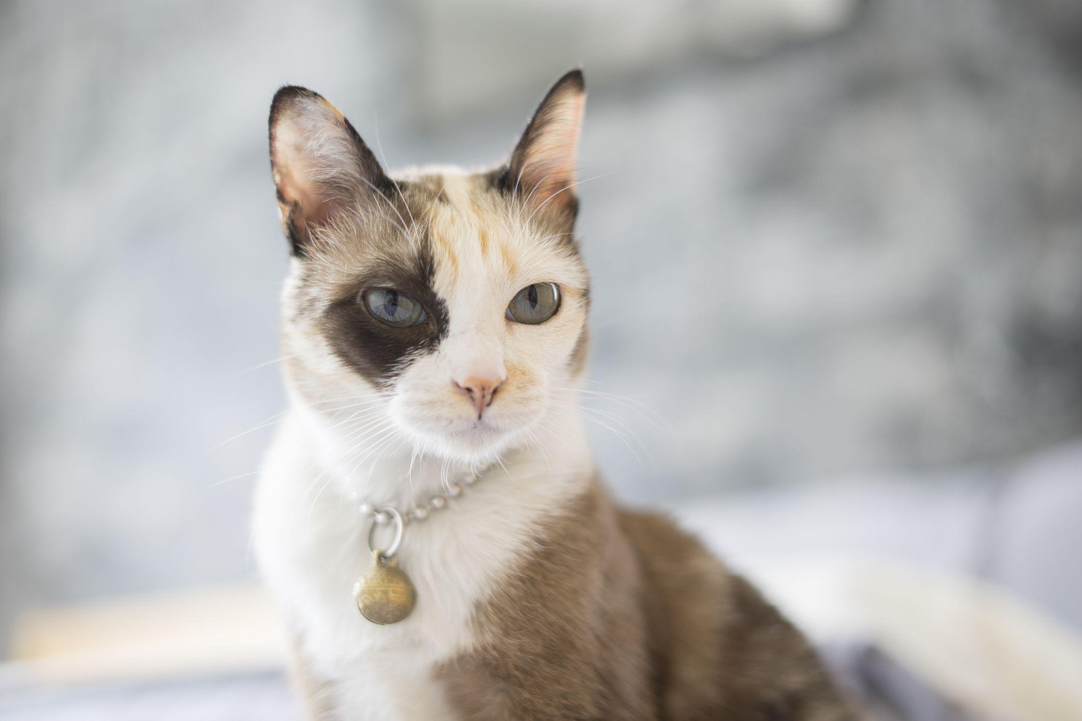 A calico Korat cat with blue eyes sitting up.