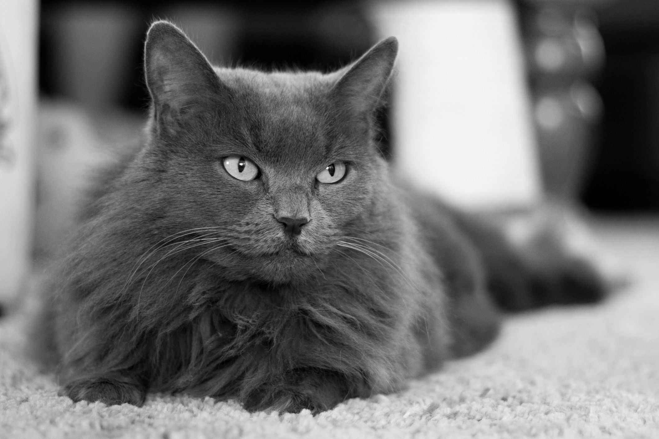 Nebelung Cat Full Profile History And Care