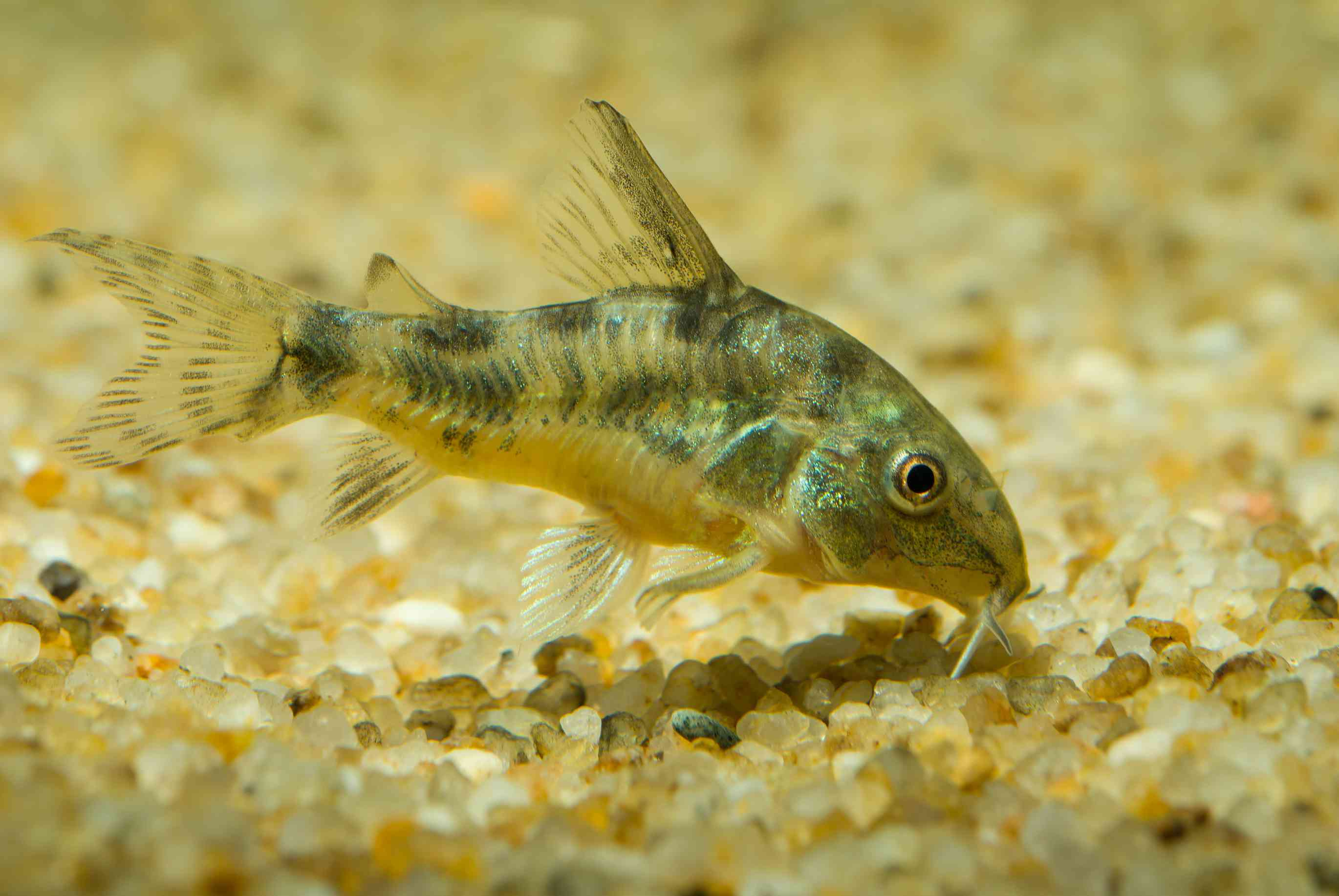 Pepper Cory using barbels to sense food in substrate