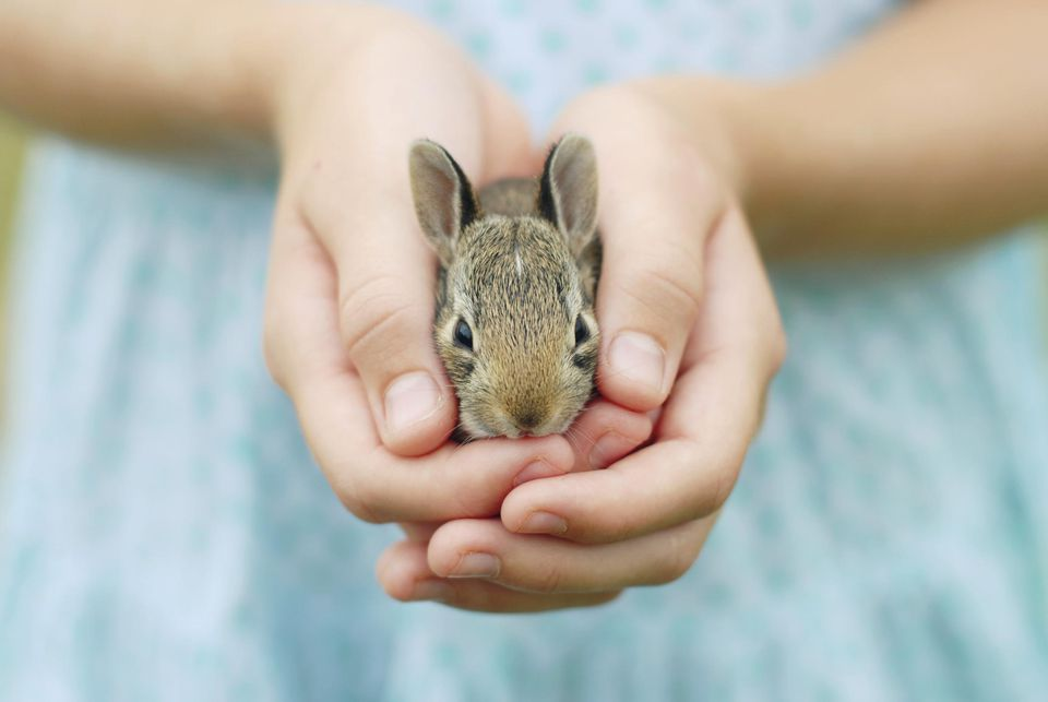 A girl's hands holding a baby bunny