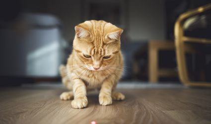 Ginger cat starting at red laser dot on wood floor.