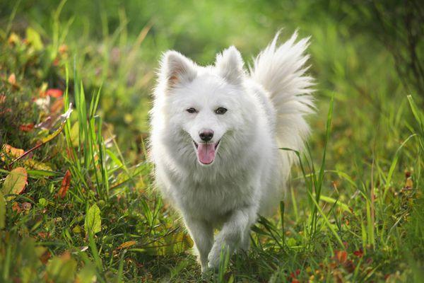 Spitz type dog breed walking in field