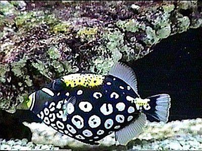 triggerfish facts and aquarium care information