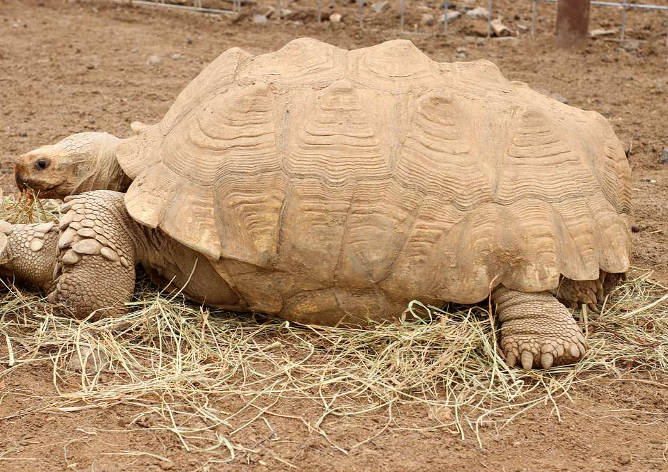 Sulcata tortoise walking on dirt and hay