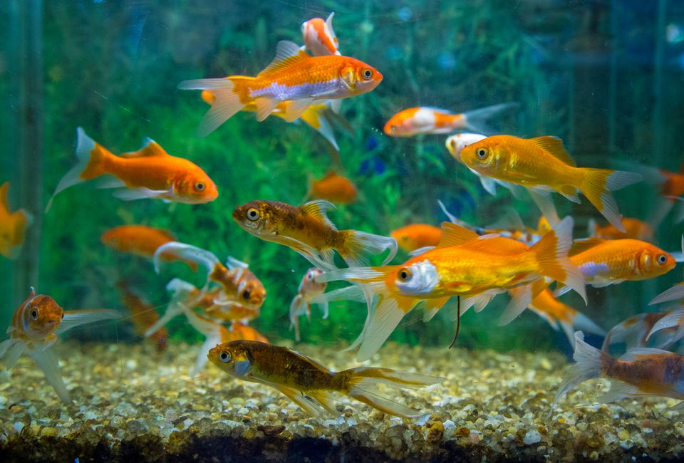 Goldfish Swimming In Aquarium