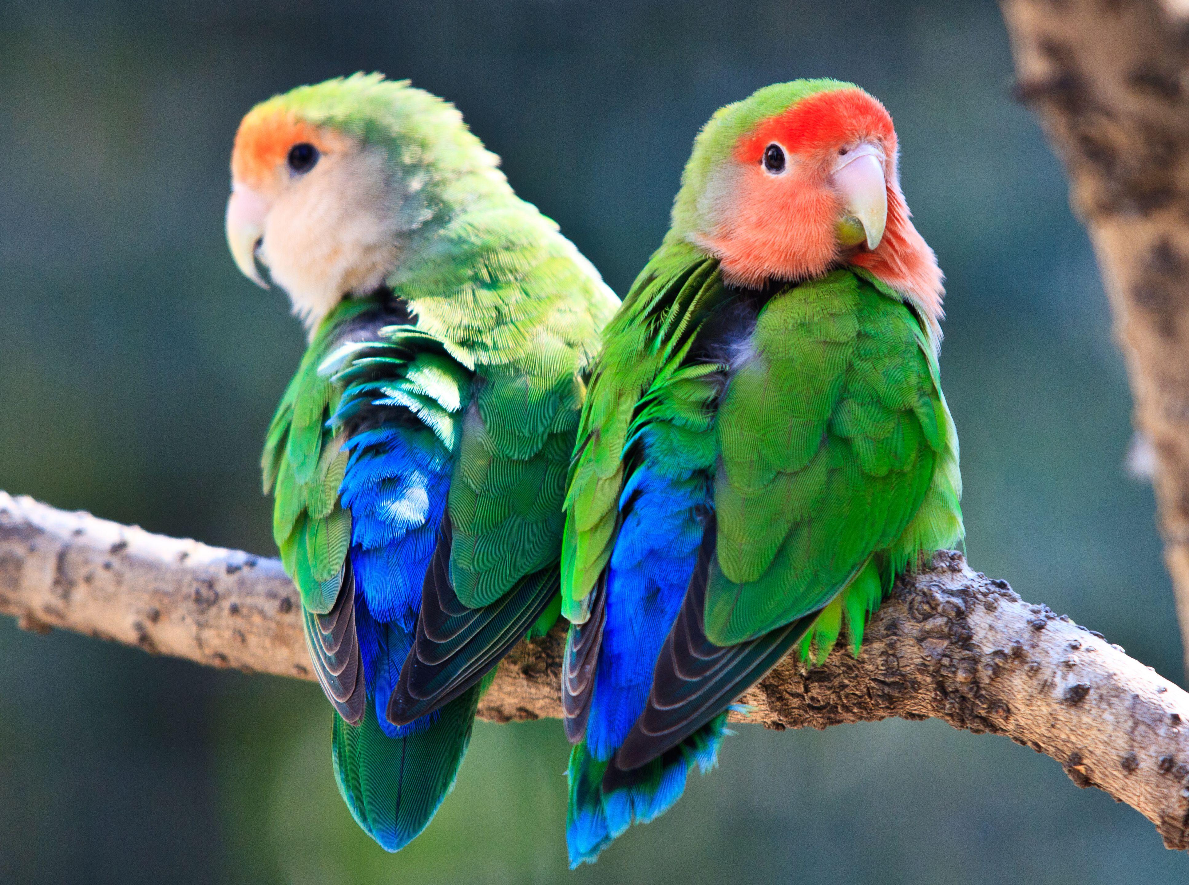 dos tortolitos con cara de melocotón sentados en una rama , Conure de mejillas verdes , Dos cacatúas