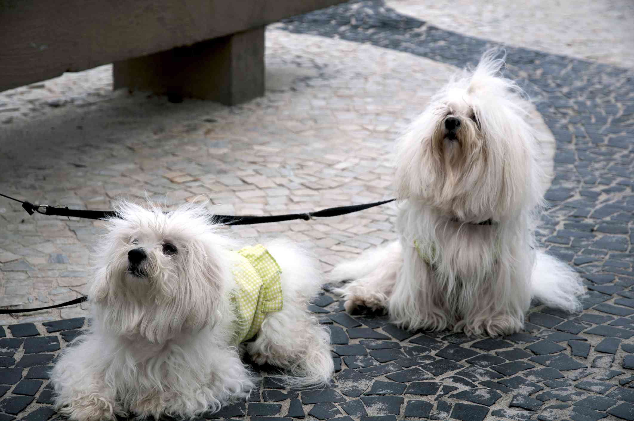 Dos perros Coton de Tulear