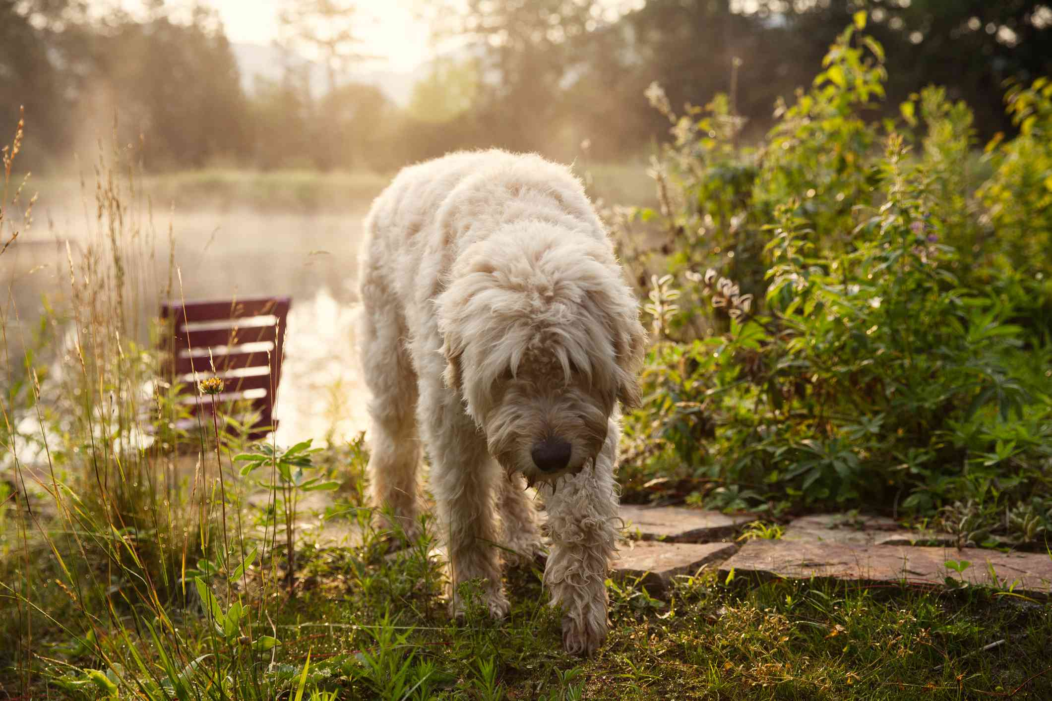 A shaggy blond dog standing in front of a park bench.