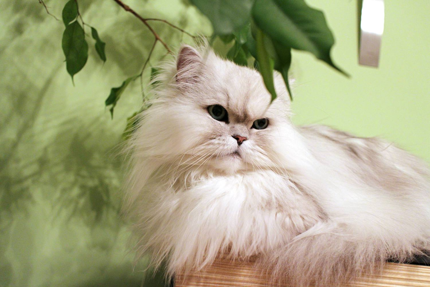 Persian cat lounging inside by a plant