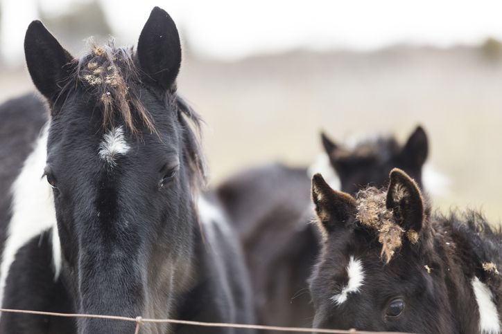 Horses with burrs in a field