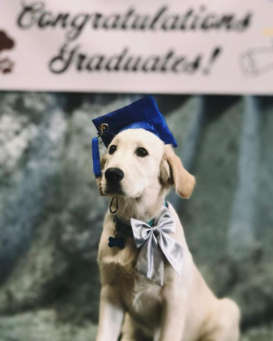 Golden retriever con gorro de graduación