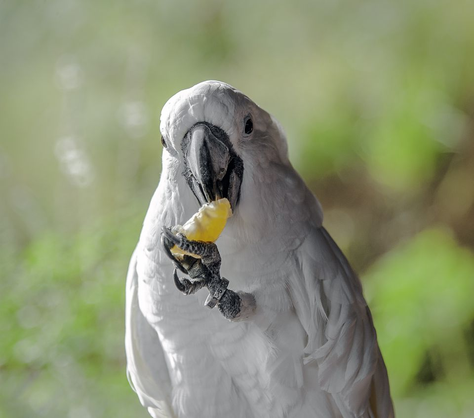 Close up of a cockatoo eating a tangerine.