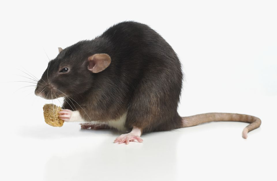 Rat eating a block of food