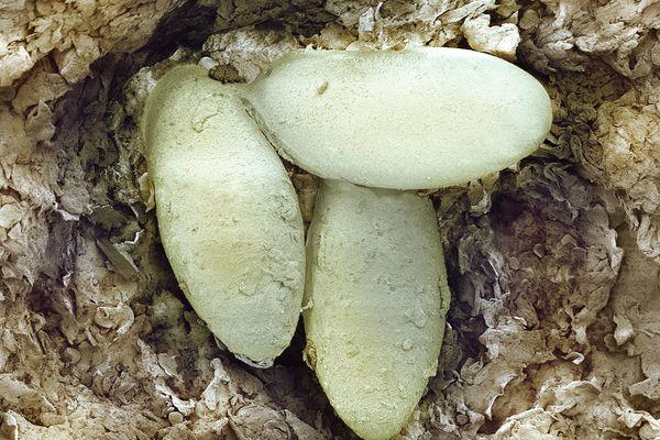 Sarcoptic mange mite eggs, SEM