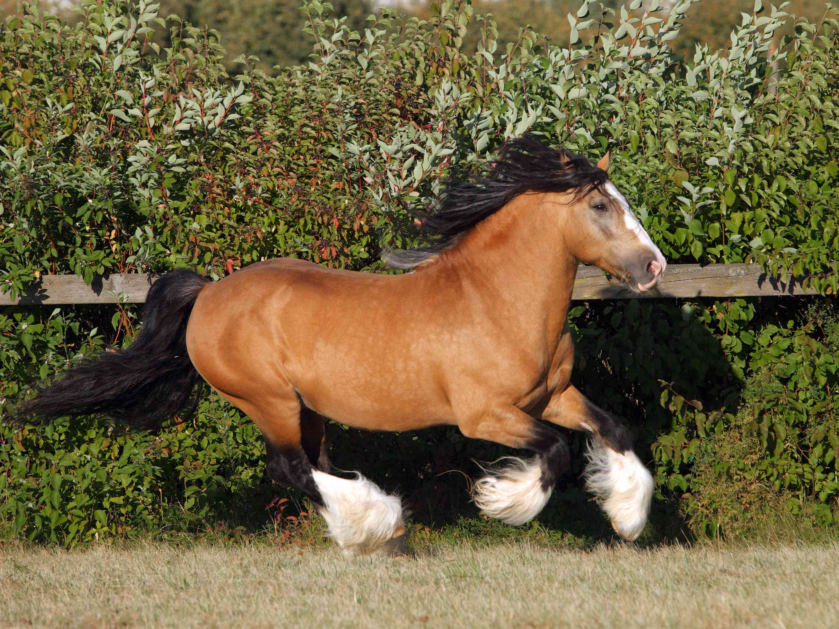 Bay Gypsy Vanner cantering in turnout.