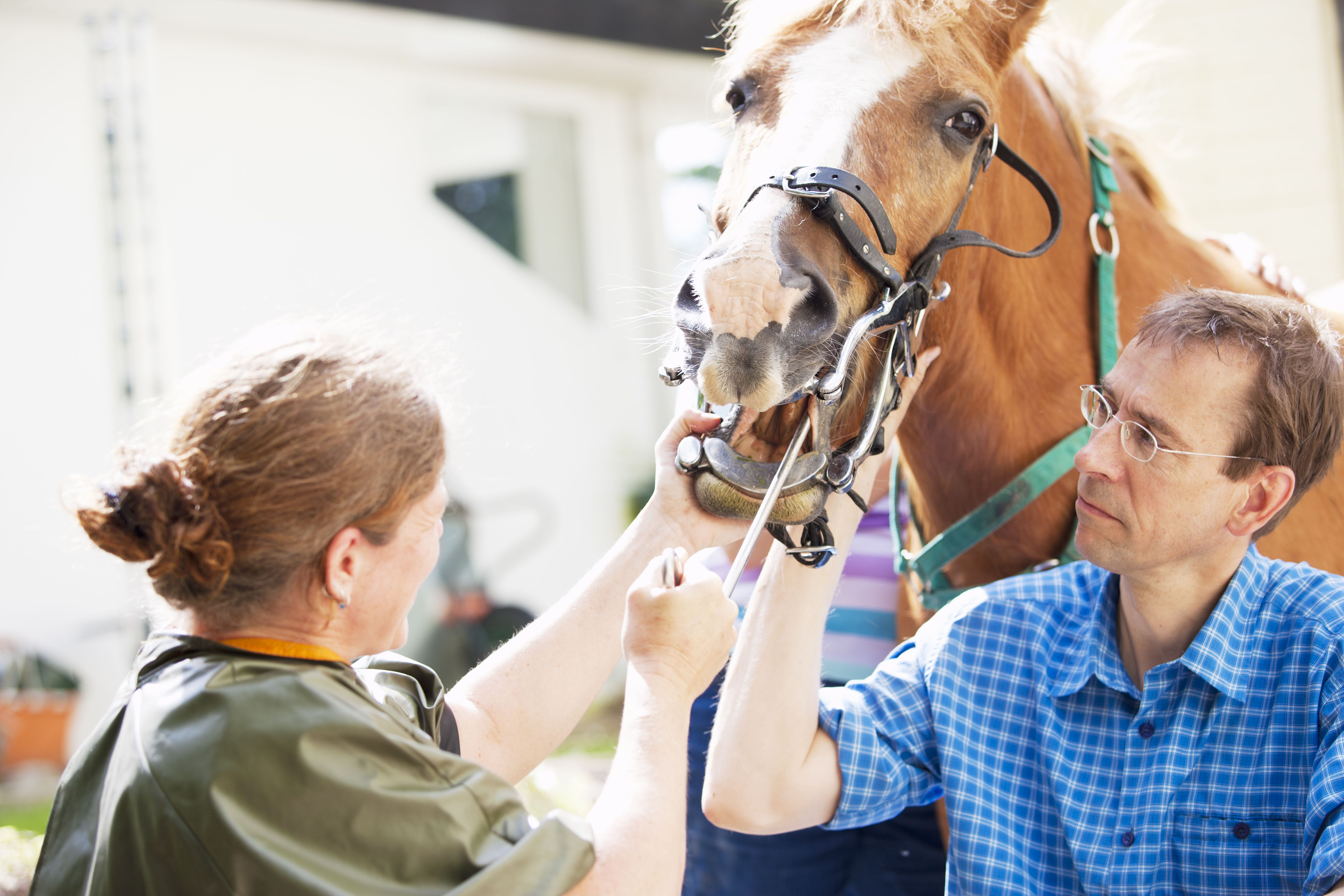 Horse dentists
