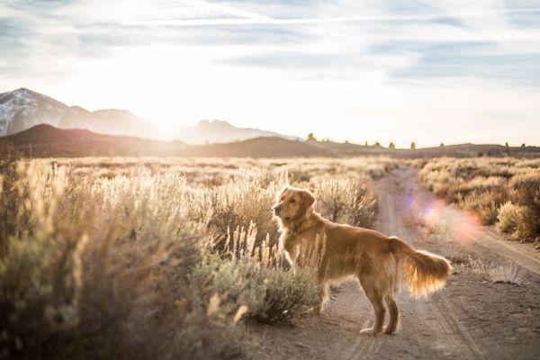 Golden Retriever in Desert at Sunset