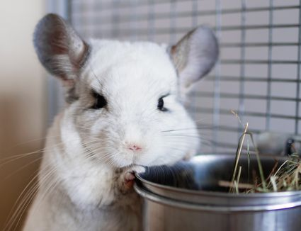Cute chinchilla of white color is sitting in its house near to bowl with hay.
