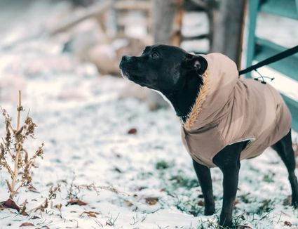 dog wearing winter coat outside in the snow