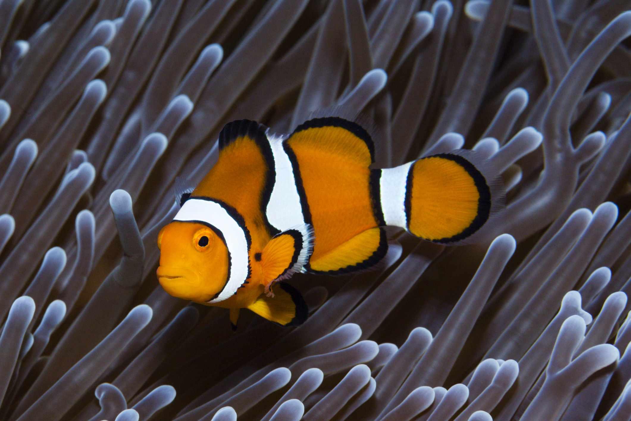 Ocellaris pez payaso en una anémona