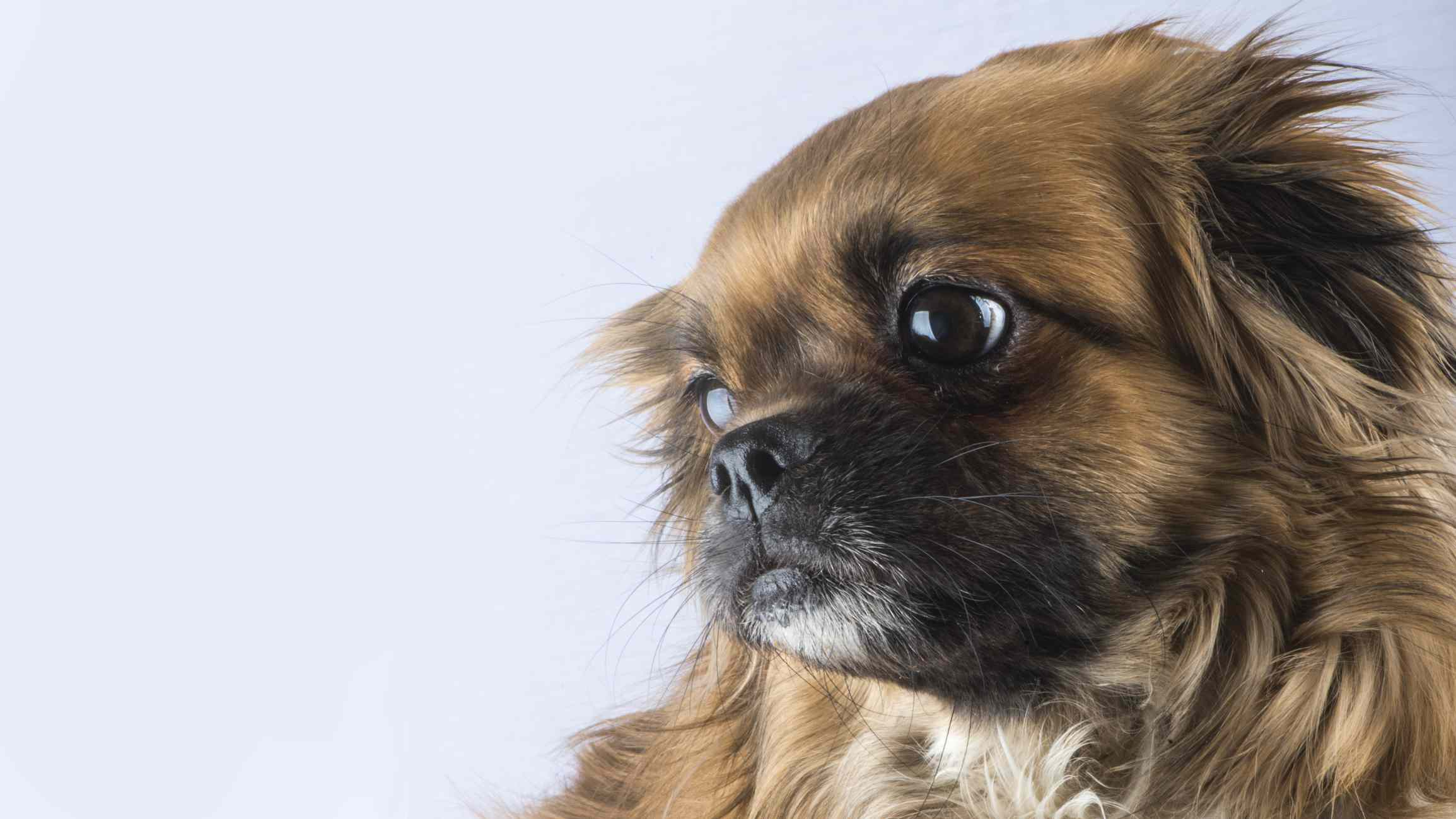 A brown pekingese dog looking to the side.