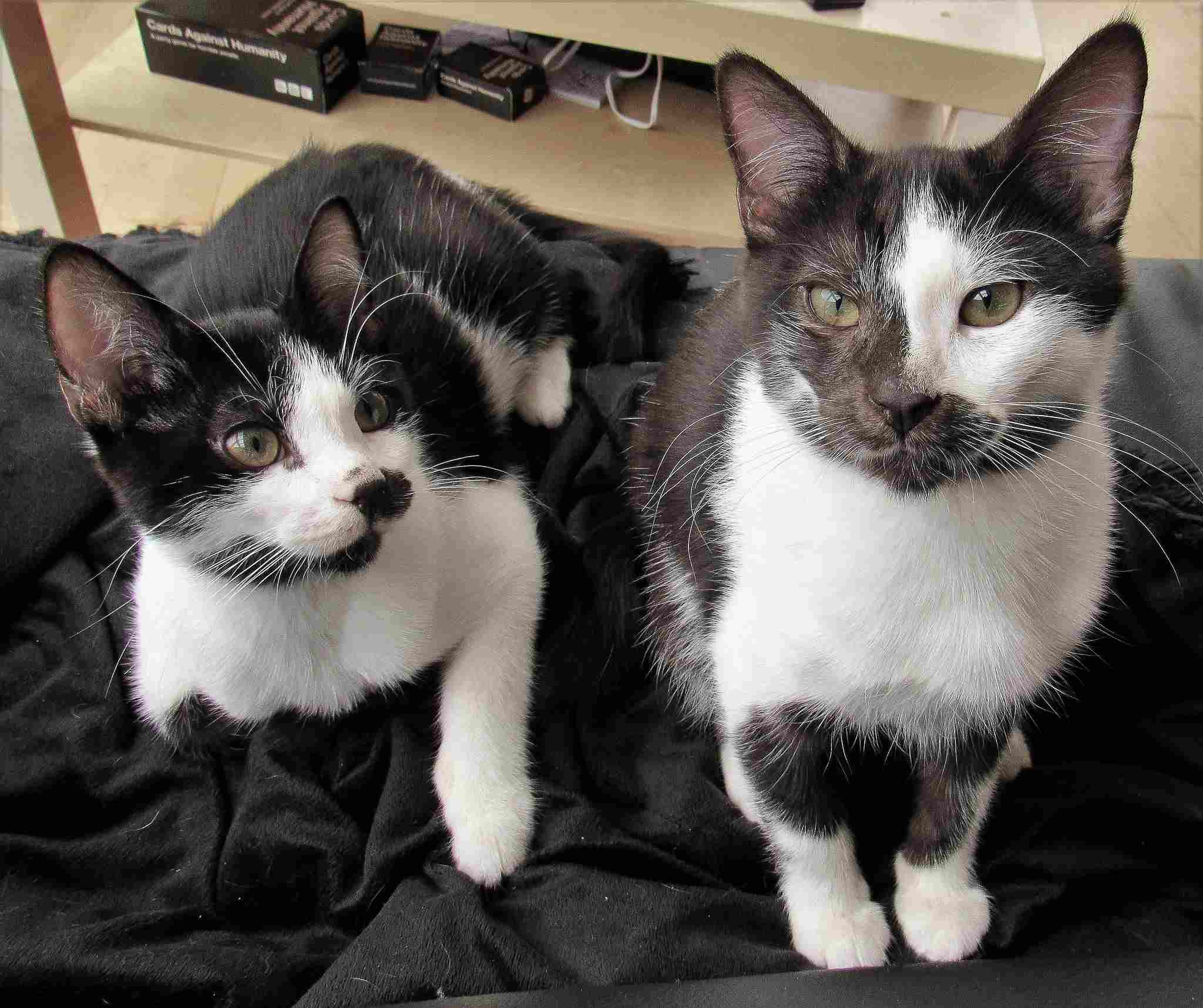 two black and white cats sitting on a black blanket.