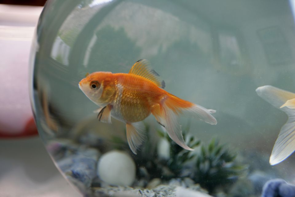 Goldfish swimming in a fishbowl.