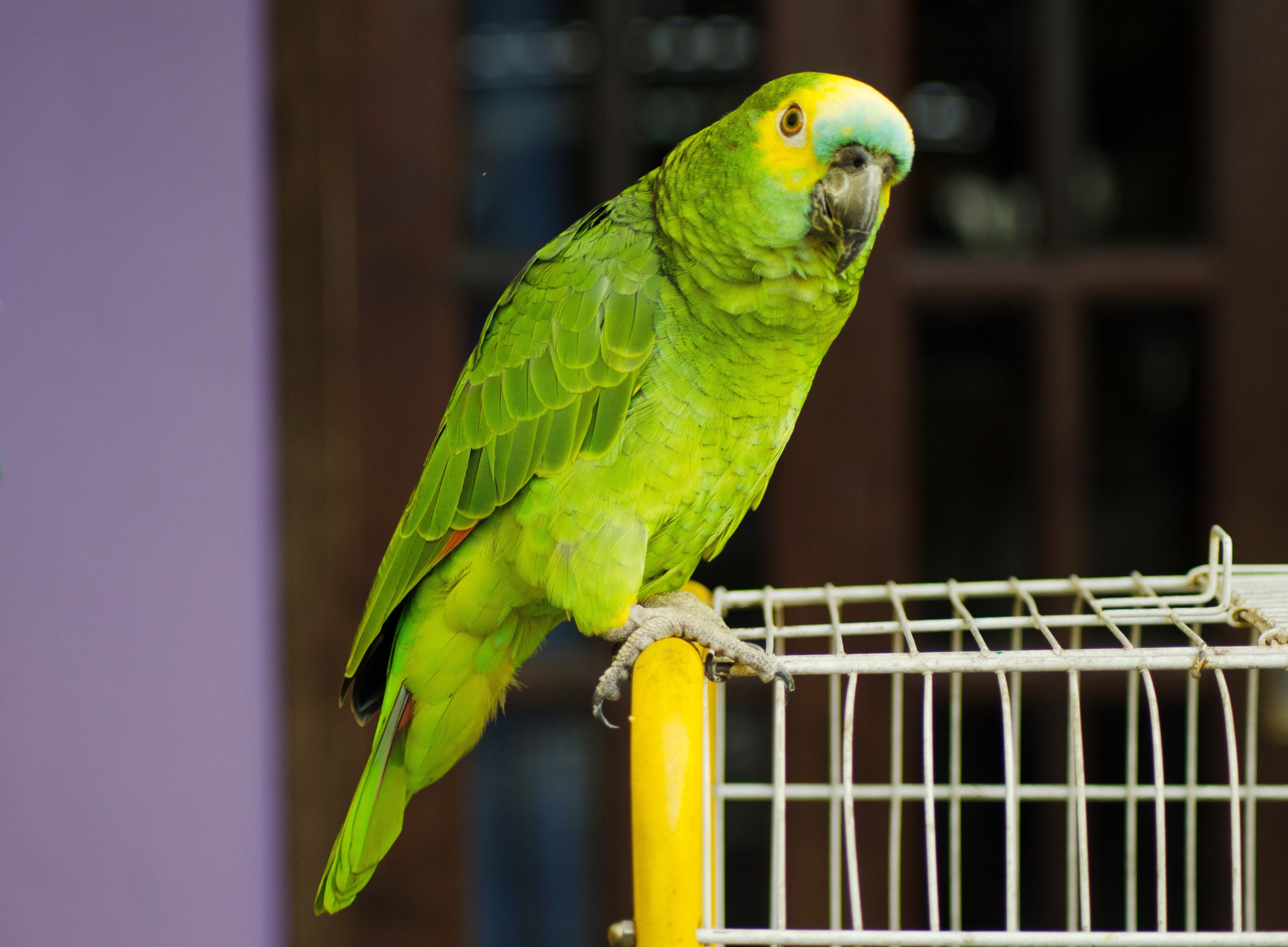 Green parrot perching on a cage.