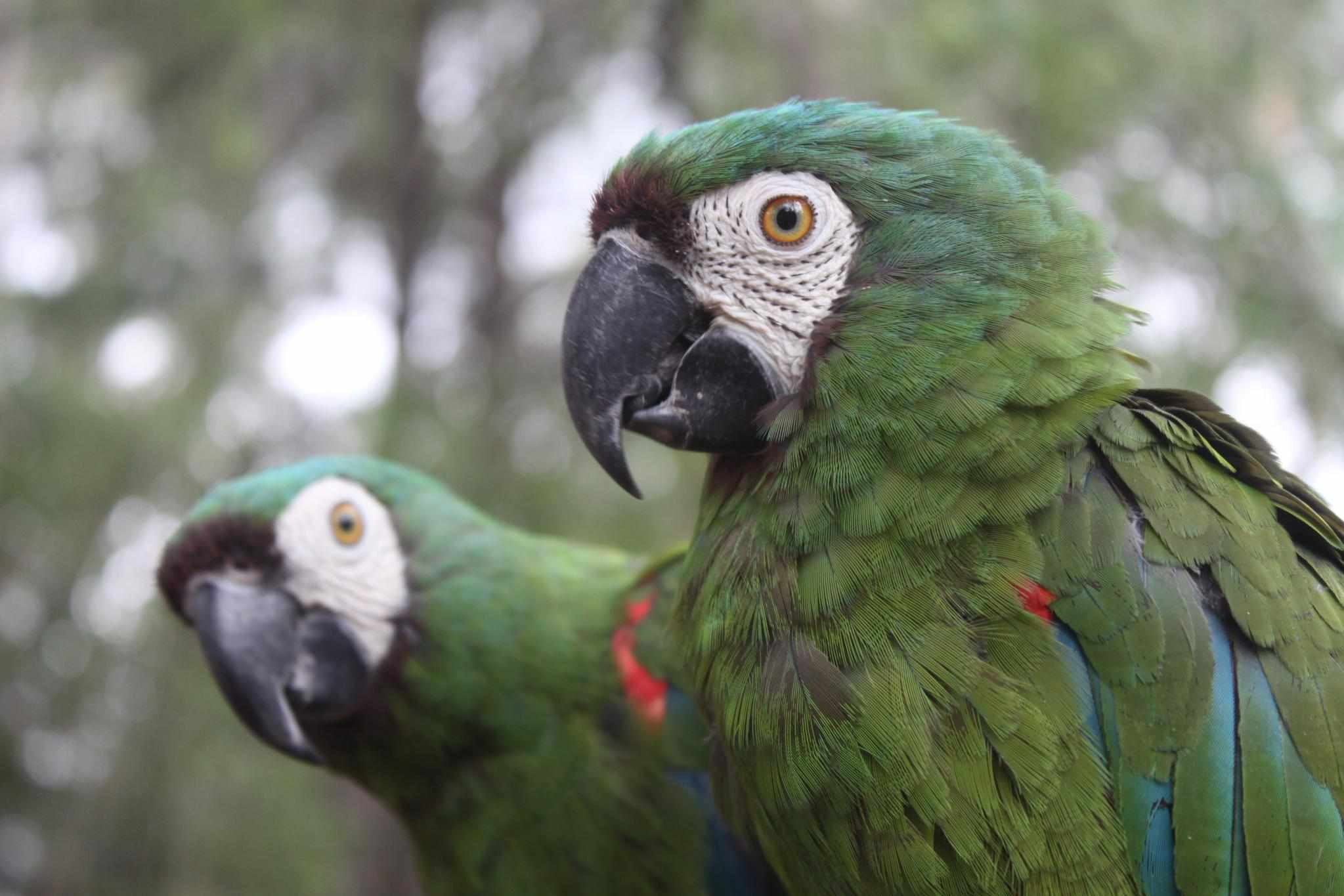 Two Severe macaws staring at the camera.