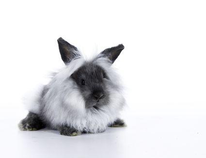Grey and White Lionhead Rabbit on white background