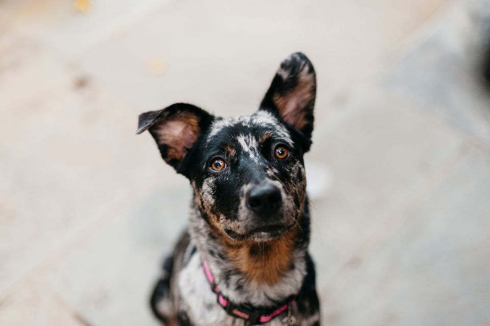 mixed breed dog - mutt