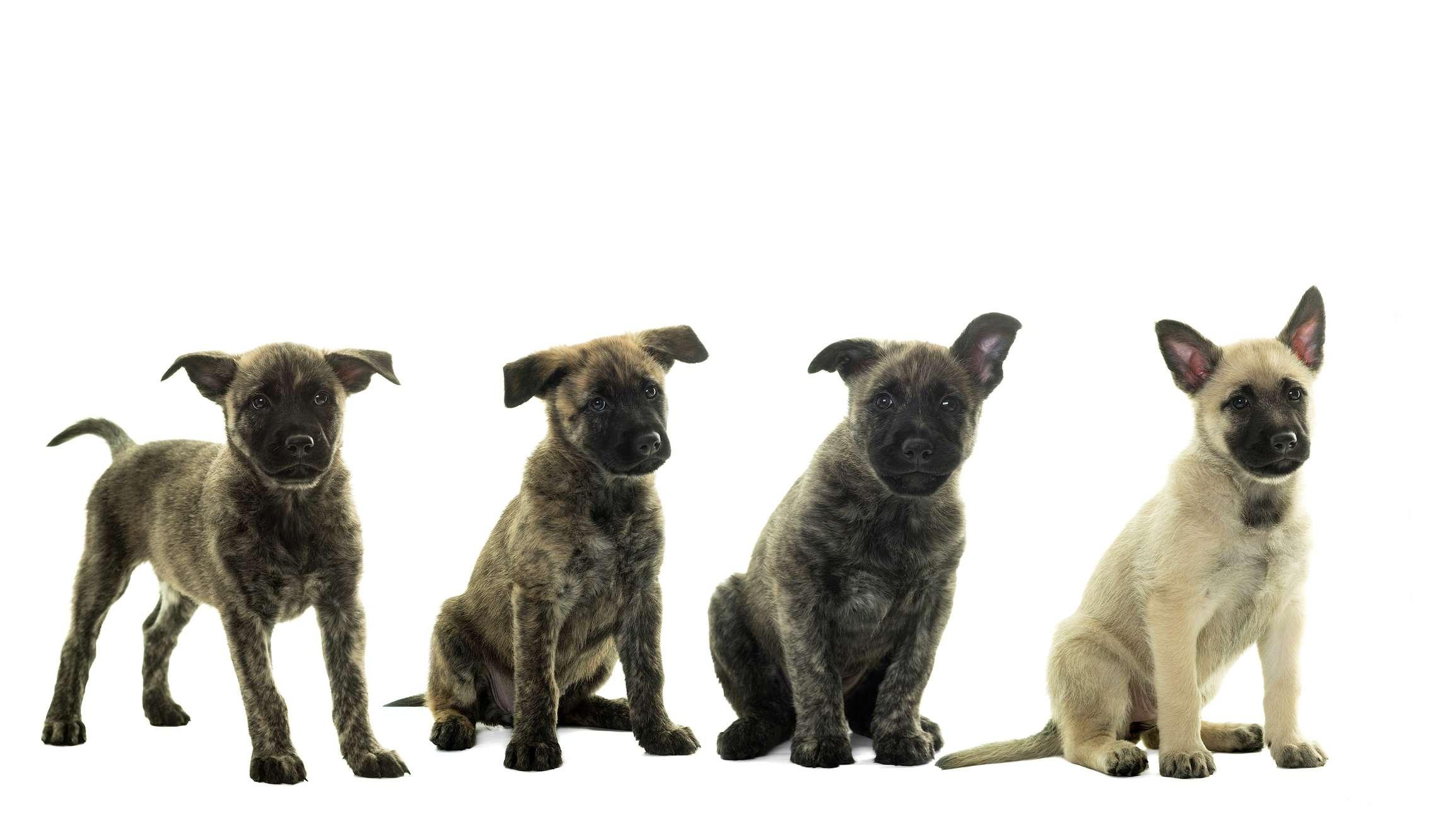 Dutch Shepherd Puppies