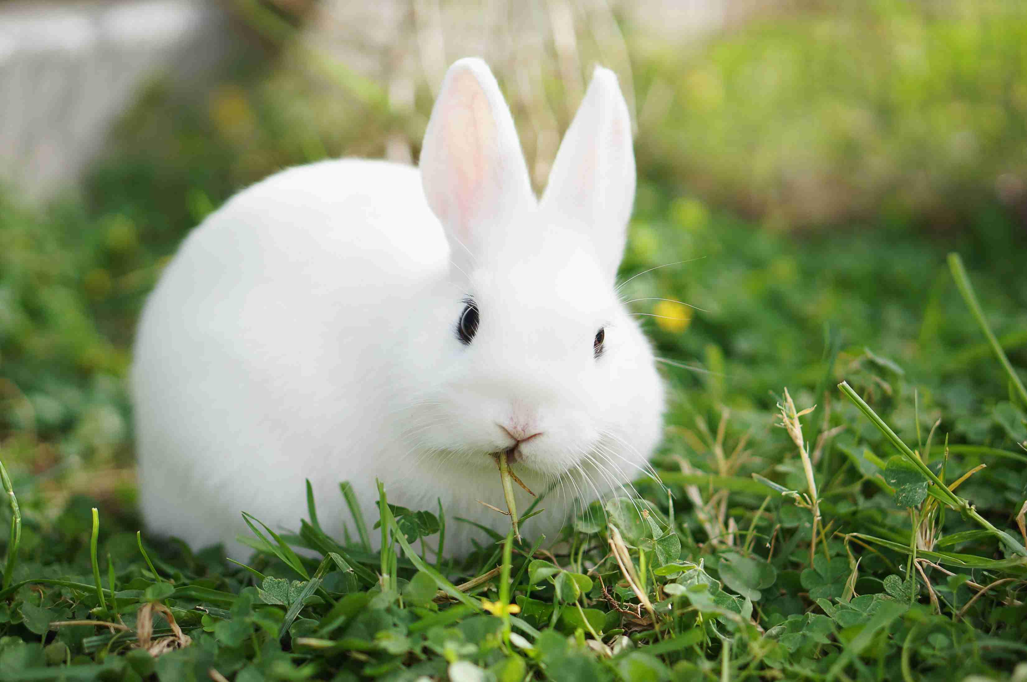 White hotot rabbit eating grass