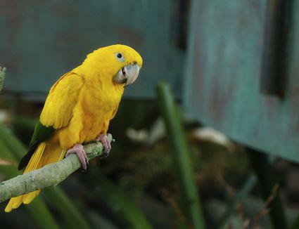 The golden parakeet bird or golden conure