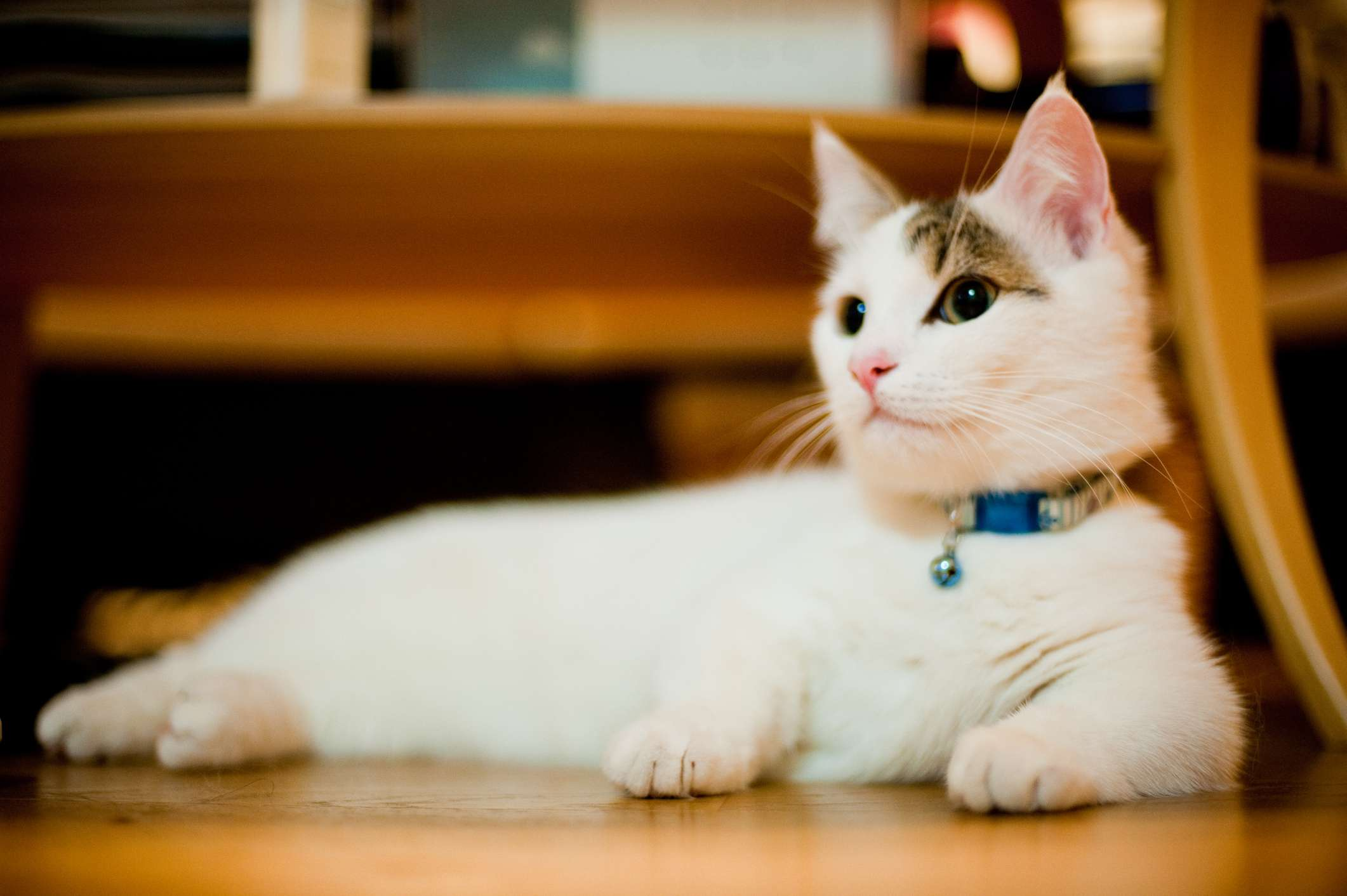 A white munchkin cat laying on the wood floor.