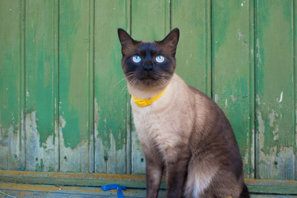 Beautiful blue-eyed cat in a collar, sitting against a wooden wall