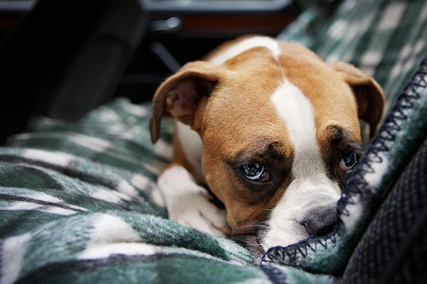 Boxer Puppy in Rear Seat of Car
