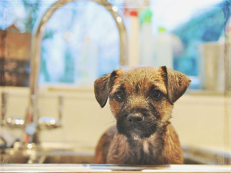 Puppy in a sink getting ready for a bath