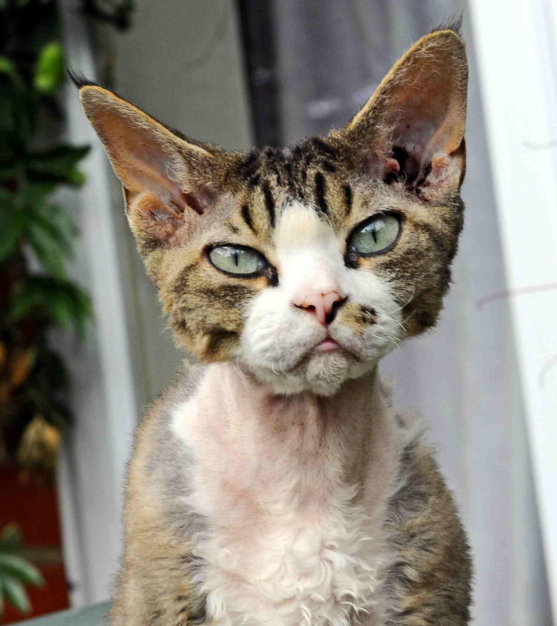 Devon Rex cat outside on a porch