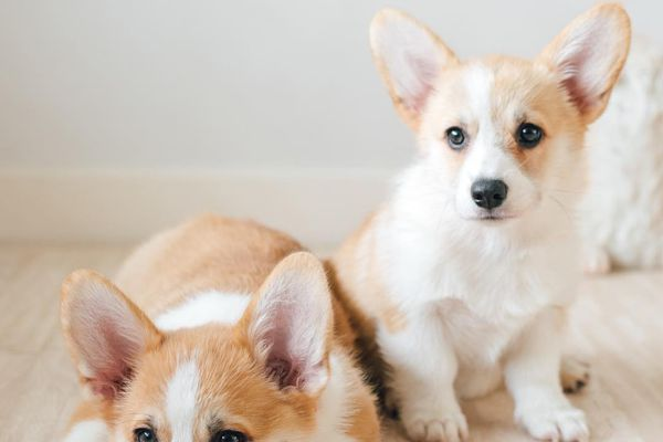 Two Corgi puppies sitting on the floor.