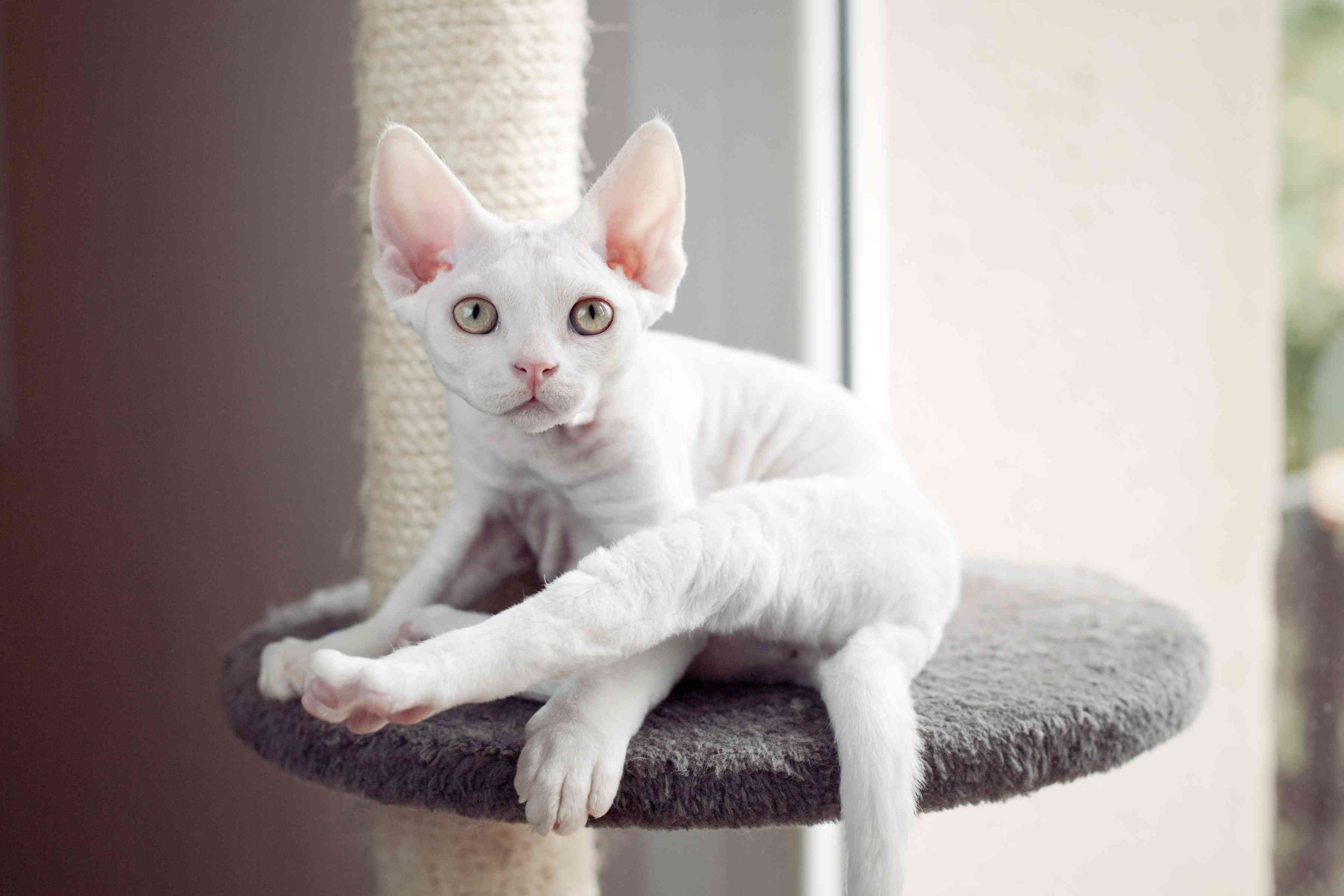 White Devon Rax on Cat Perch