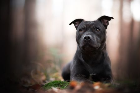 Staffordshire Bull Terrier: Full Profile, History, and Care