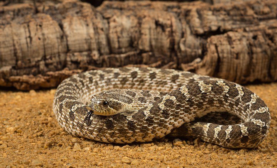 Western Hognosed Snake