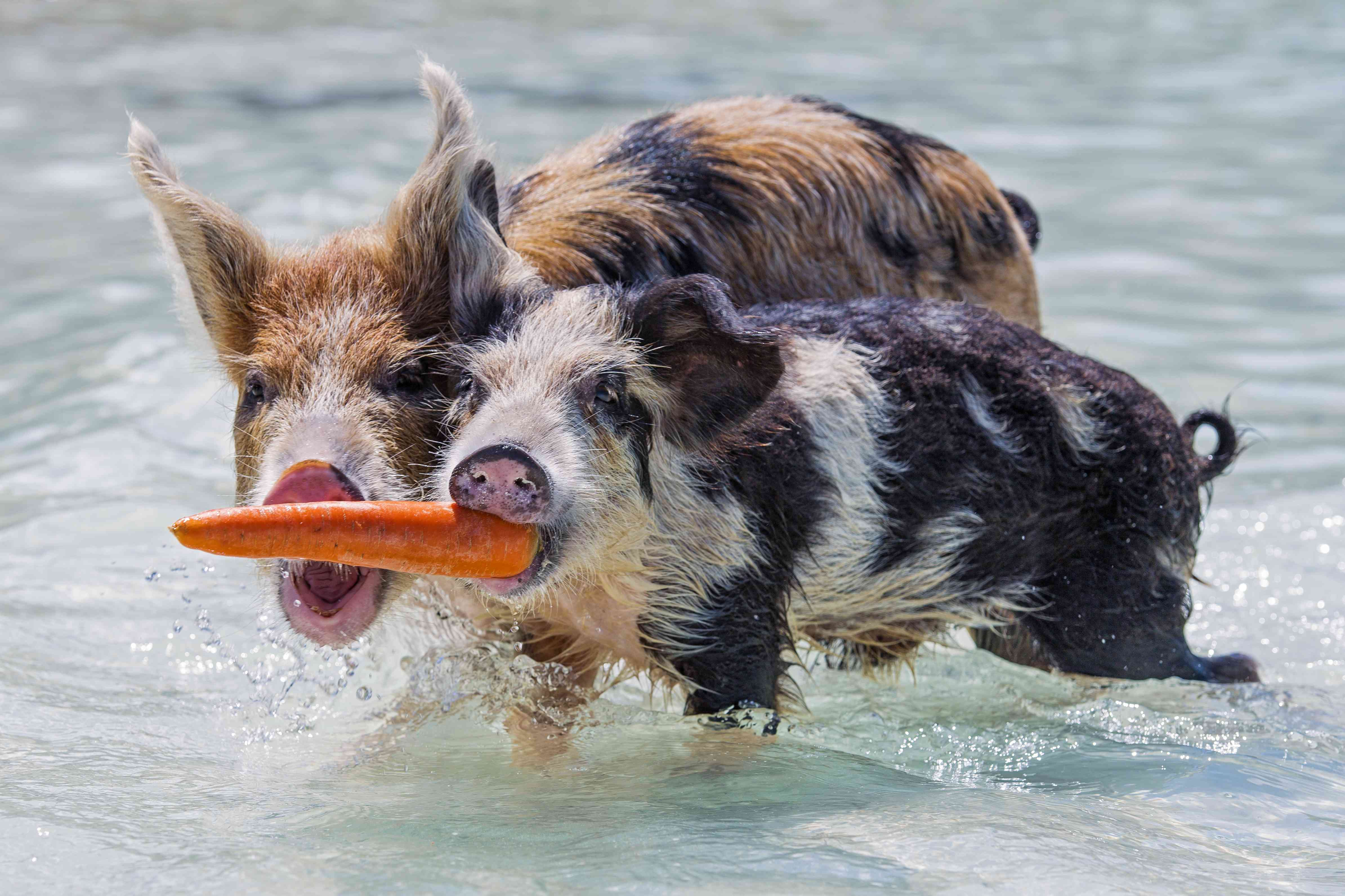 Pigs fighting over carrot