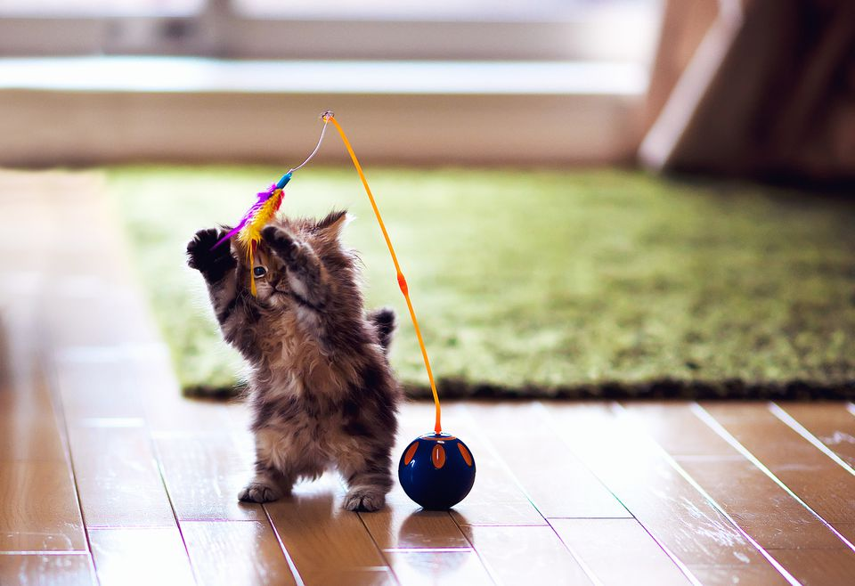 Kitten playing with a feather toy