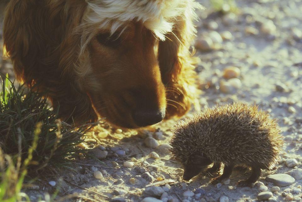 Primer plano de erizo y perro en campo