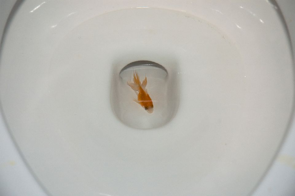 Goldfish in toilet