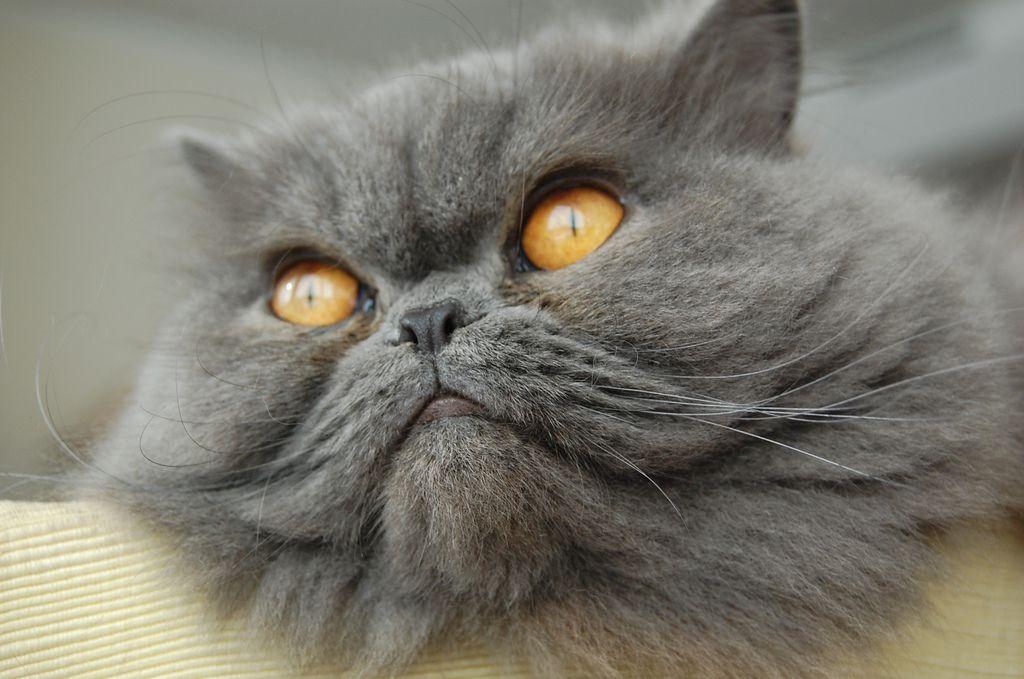 Un gato persa gris con ojos amarillos